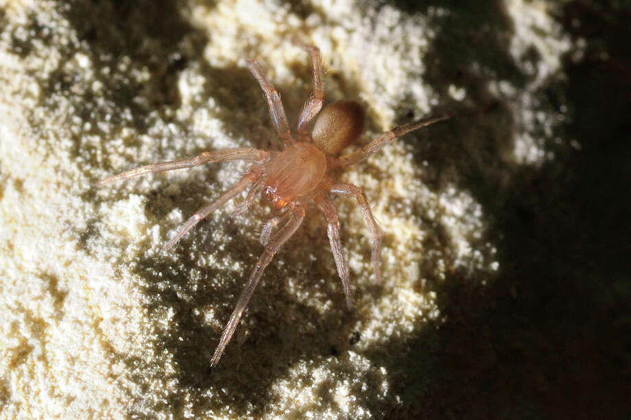 Bracken Bat Cave Meshweaver Status: Endangered (Federal list) Photo: Courtesy /, Texas Wildlife