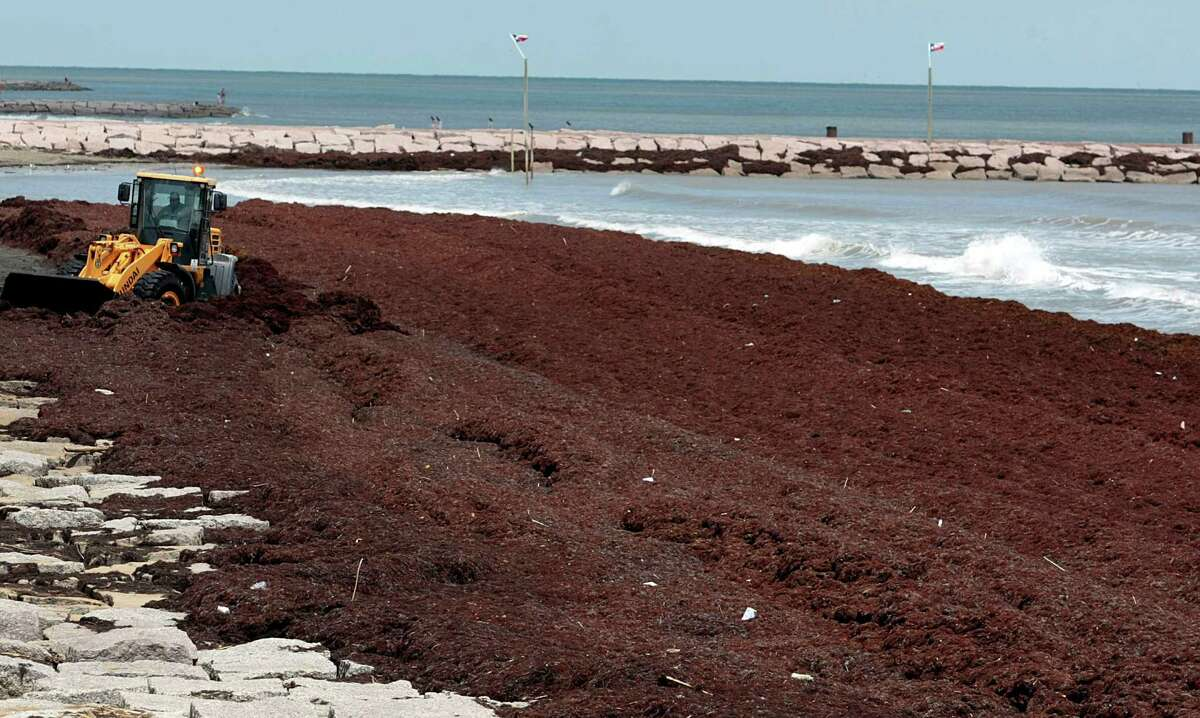 A Galveston Park Board worker uses a bulldozer to move mounds of Sargassum several feet high in places along Galveston beach near Seawall blvd. Wednesday April 30, 2014. The seaweed is arriving on Galveston beaches after drifting thousands of miles from the Sargasso Sea.