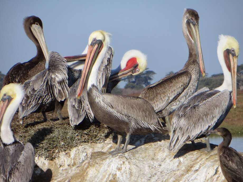 Declared endangered in 1970, the brown pelicans' population has rebounded. Many live in Elkhorn Slough National Estuarine Research Reserve. Photo: Robin Soslow, For The Express-News
