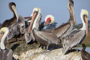 Declared endangered in 1970, the brown pelicans' population has rebounded. Many live in Elkhorn Slough National Estuarine Research Reserve.