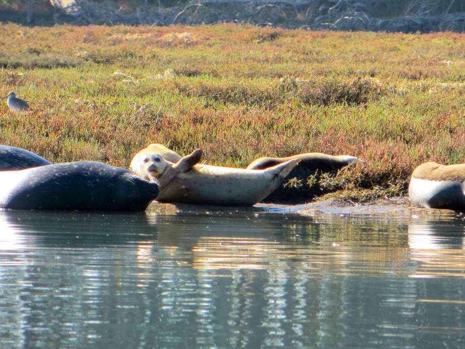 Sea lions bask in the sun in Monterey Bay near the mouth of Elkhorn Slough. Photo: Robin Soslow, For The Express-News