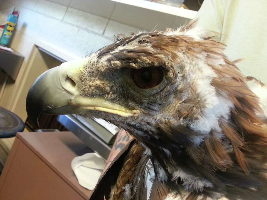 After a couple months of treatment, feathers start to return to the young eagle's head. Photo: UC Davis School Of Veterinary Medicine