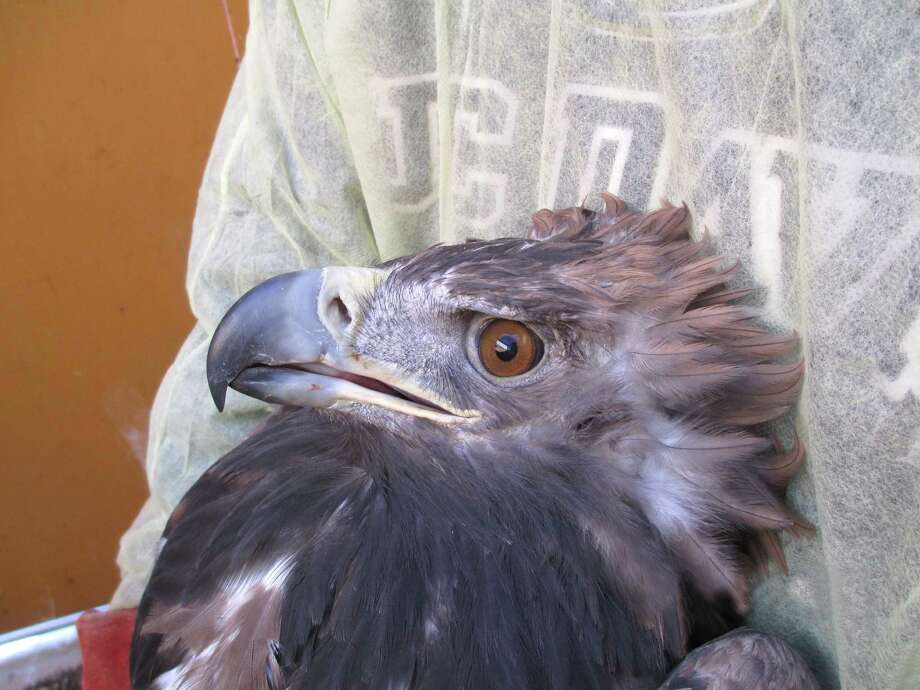 The golden eagle continues to regain feathers last November during treatment at the UC Davis William R. Pritchard Veterinary Medical Teaching Hospital. Photo: UC Davis School Of Veterinary Medicine