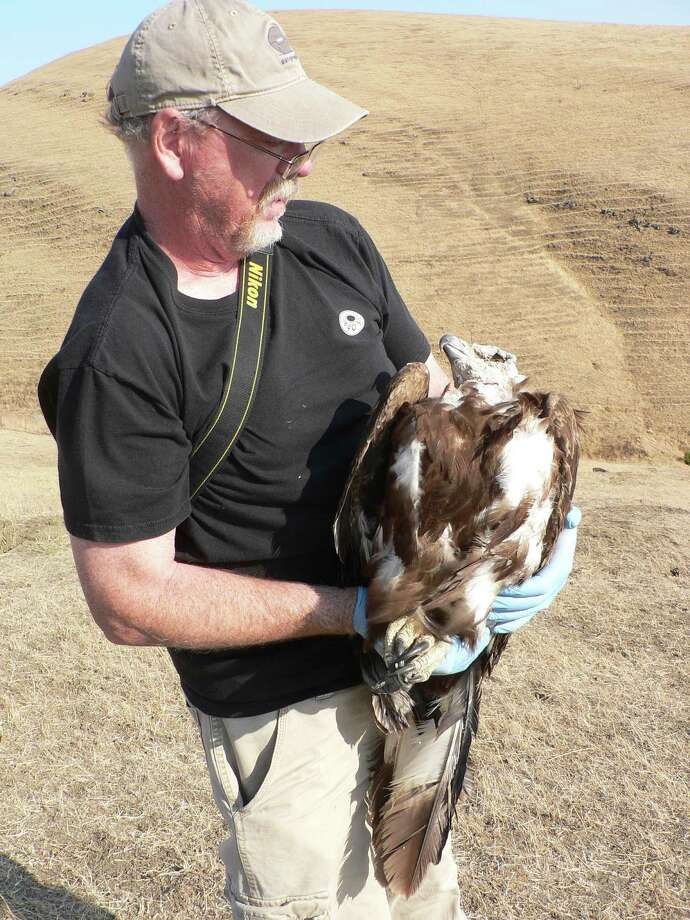 Brian Latta, a consulting eagle biologist through the American Eagle Research Institute, with the golden eagle immediately after capture on August 8, 2013. Photo: East Bay Regional Park District
