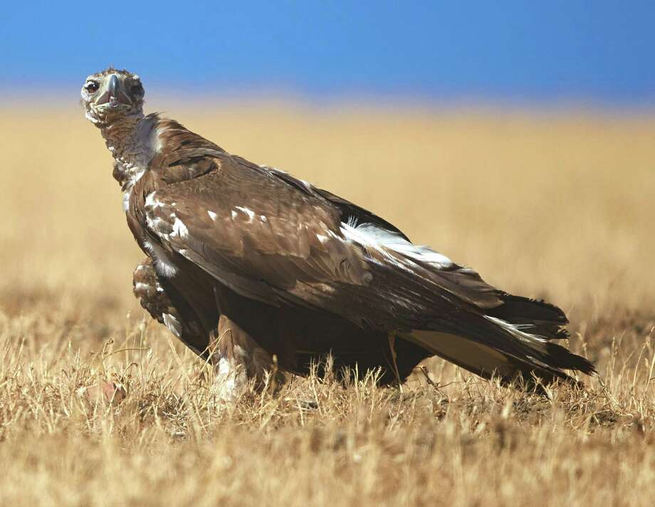 This image of the golden eagle was taken by K. Shawn Smallwood, independent researcher, when he first saw her last July in the Altamont Pass Wind Resource Area. Photo: K. Shawn Smallwood
