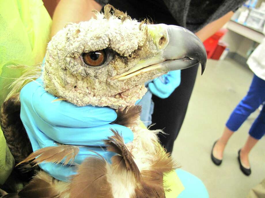 The golden eagle's head was encrusted with a mite infestation upon examination at the UC Davis William R. Pritchard Veterinary Medical Teaching Hospital. Photo: UC Davis School Of Veterinary Medicine
