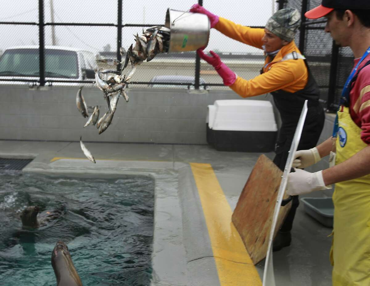 Mouna Ghoussoub (left) and Giancarlo Rulli feed herring to sea lions at The Marine Mammal Center in Sausalito, Calif. on Friday, May 2, 2014. The center is treating a higher than usual number of sea lions this season.