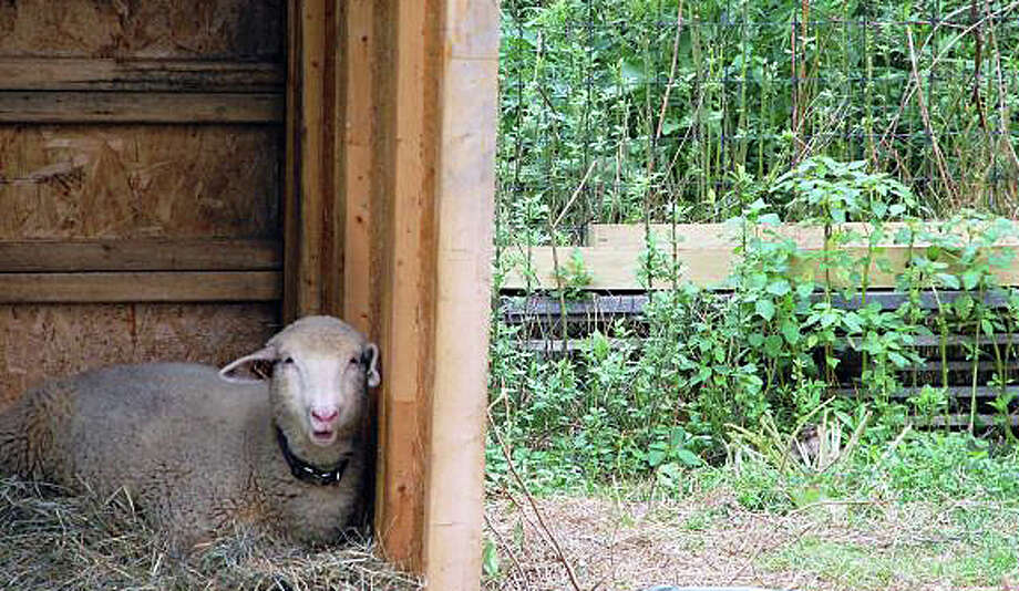 The resident sheep at Wakeman Town Farm will be just one of the agrarian attractions that visitors will see today -- part of the townwide GreenDay celebration -- from 1 to 4 p.m. at the farm. Here's the complete GreenDay schedule:  http://bit.ly/1mo8uuq Photo: File Photo / Westport News