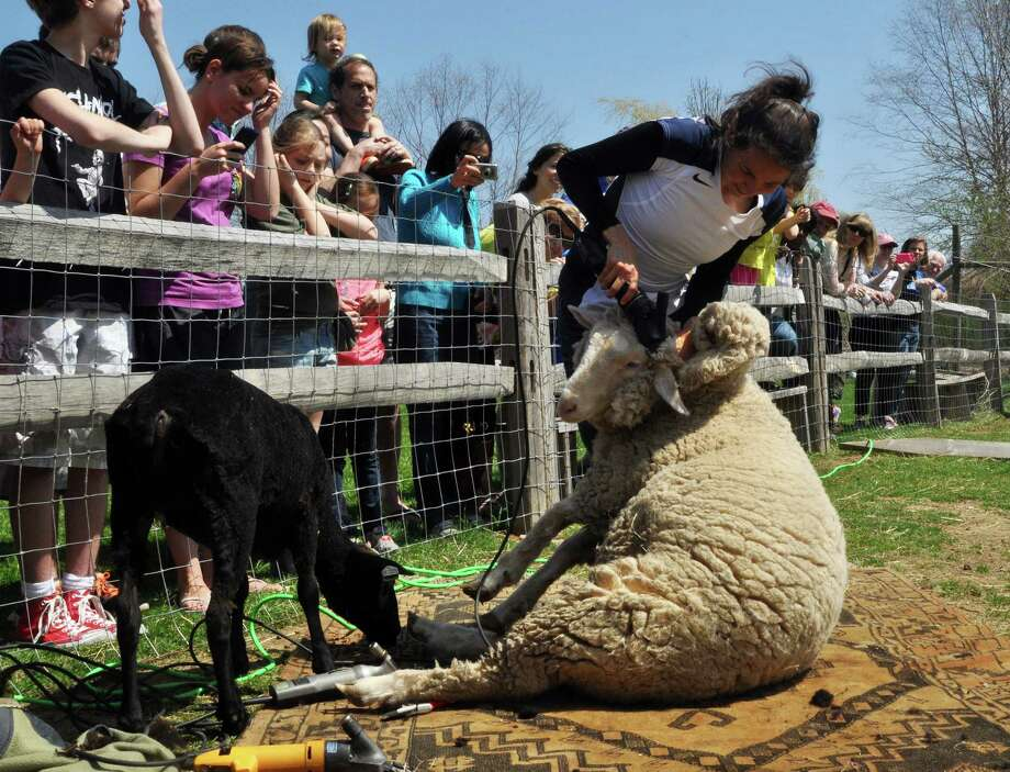 Christina Wickson shears the resident sheep at Wakeman Town Farm during the GreenDay open house on Saturday. Photo: Nancy Guenther Chapman / Westport News