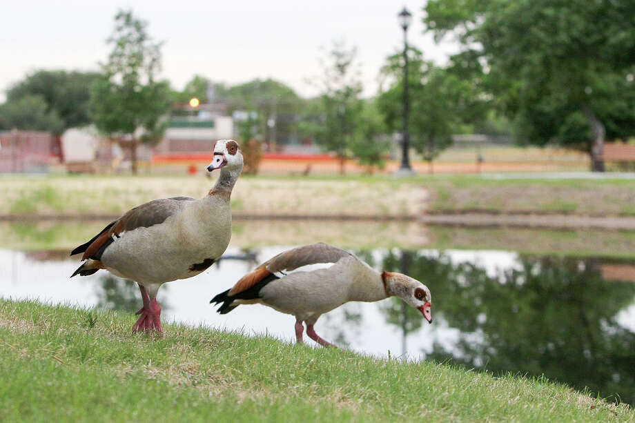 A pair of Egyptian Geese on the bank of Takas Park Pond at Takas Park, 9310 Jim Seal Dr. in Windcrest, on Friday, May 2, 2014.  The pond is surrounded by a concrete path and has benches, trash receptacles and dog stations.  Fishing is allowed on a catch and release basis as the pond is stocked with a variety of fish.  MARVIN PFEIFFER/ mpfeiffer@express-news.net Photo: MARVIN PFEIFFER, Marvin Pfeiffer/ EN Communities / Express-News 2014