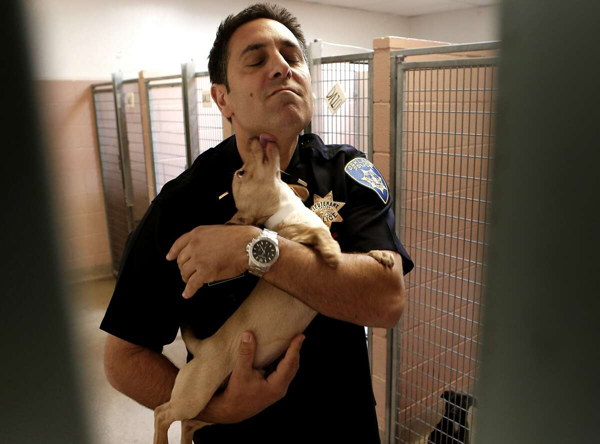 Interim director, Lt. Chris Muffareh gets kisses from one of the adoption dogs, at the Oakland Animal Shelter, on Wednesday April 30,2014, in Oakland, Calif. The shelter has had three directors in the past year and volunteers say the instability is affecting the dogs and cats. Animal lovers are staging a