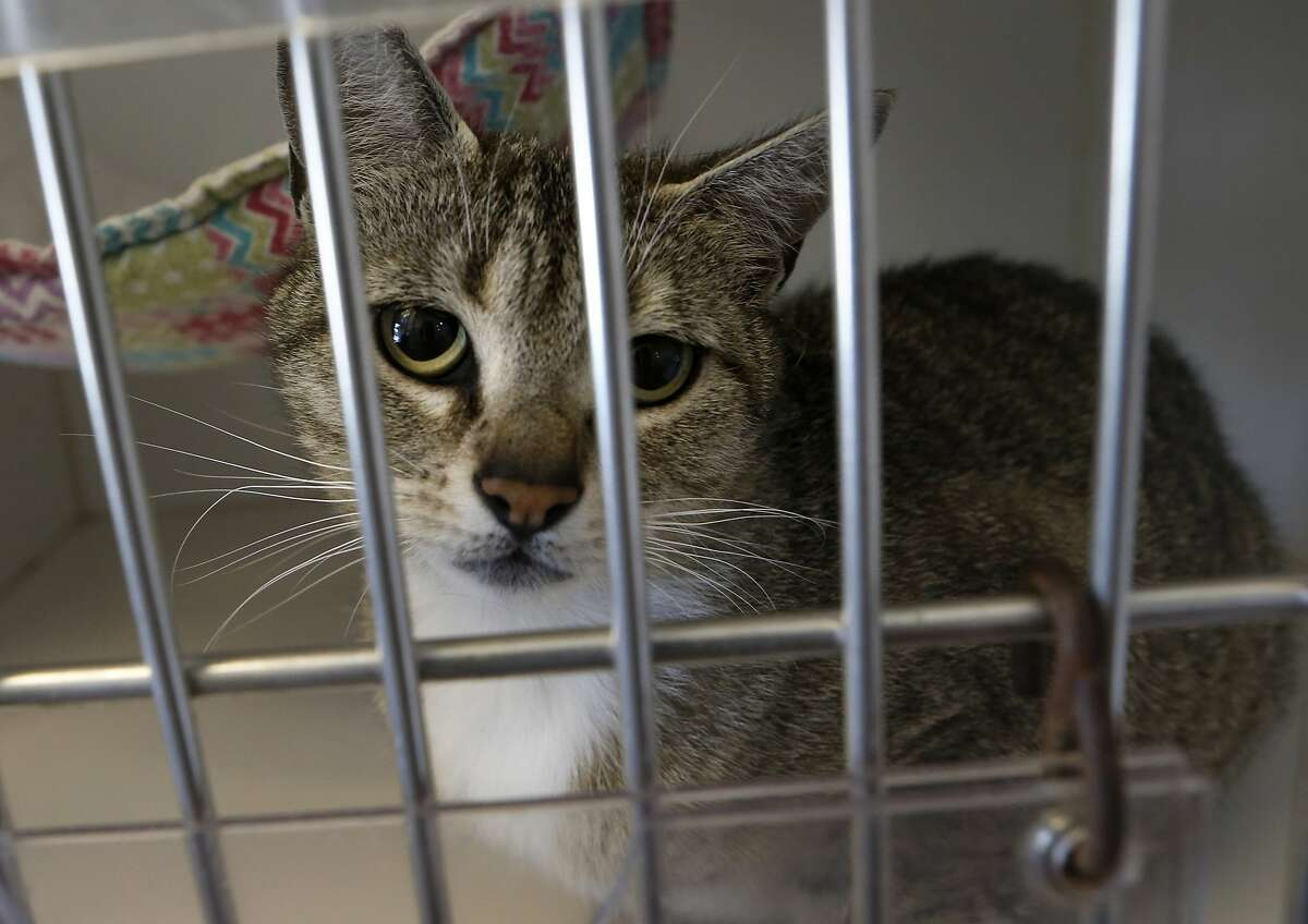 Shelter cat Anja awaits adoption at Oakland's Animal Services Department, where staff and volunteers blame lack of consistent leadership for low morale.