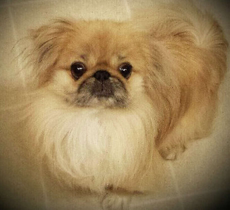 This little Pekingnese, Leo, is looking for a new home and Save Our Strays in Westport is helping him find one. Photo: Contributed Photo / Westport News