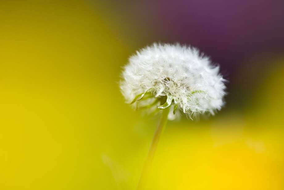 Now get out there and ruin some lawns! A dandelion waits for a breeze to scatter its seeds 