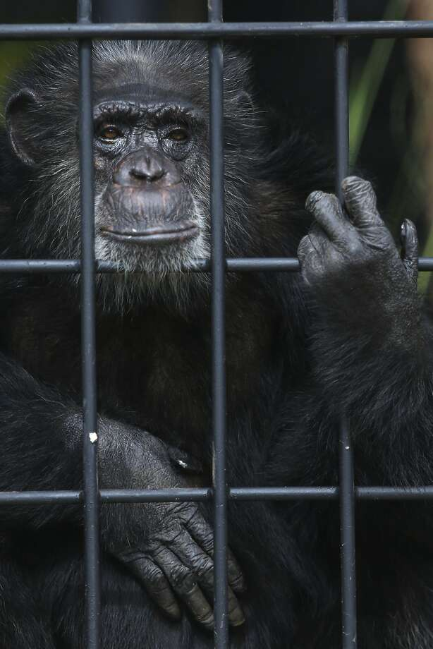 Or maybe she just doesn't like Congo:Chita peers out from within her new enclosure at a   zoo in Asuncion, Paraguay. The chimpanzee and her mate, Congo, have been caged together since 1972 without producing any baby chimps. Veterinarians say it could be due to the stress of being in captivity. Photo: Jorge Saenz, Associated Press
