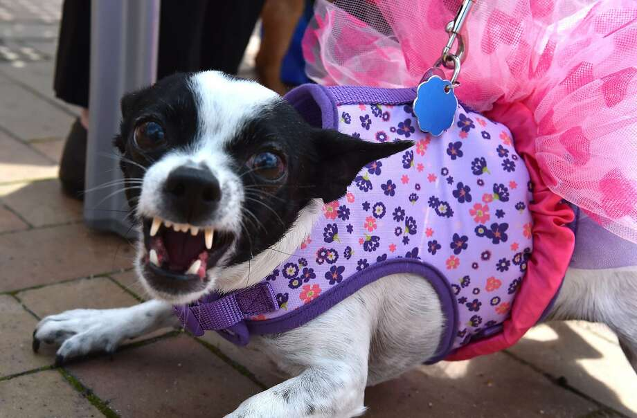 "Make fun of the tutu at your own risk: She's a sensitive girl. (""Run of the Chihuahuas"" annual race in Washington, D.C.) Photo: Mladen Antonov, AFP/Getty Images"
