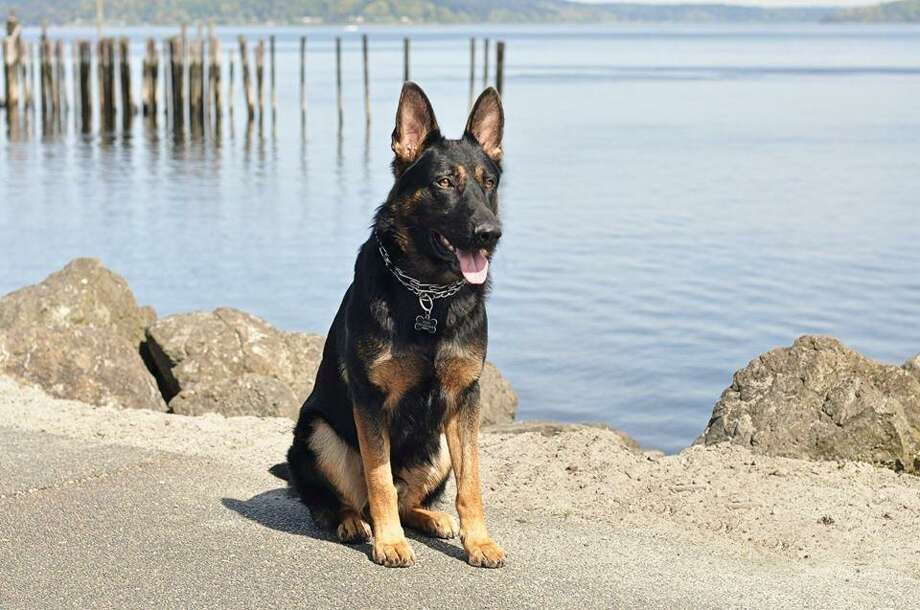 Frodo is a 2-year-old German shepherd who serves the King County Sheriff's Office and nabbed two armed robbery suspects Saturday morning in Tukwila. Photo: King County Sheriff's Office