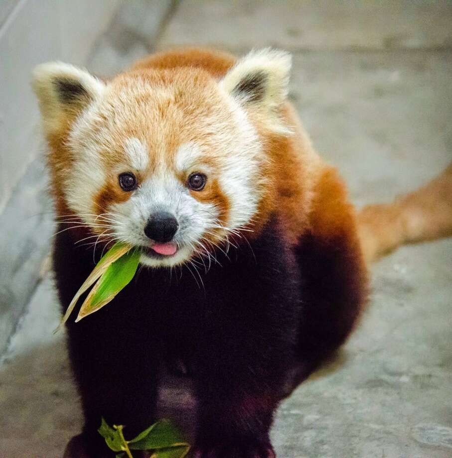 The San Francisco Zoo will be welcoming in a new red panda on May 10. The 10-month-old male will be displayed in a new enclosure. (Jessie Greger/Associated Press) Photo: Jessie Greger, Associated Press
