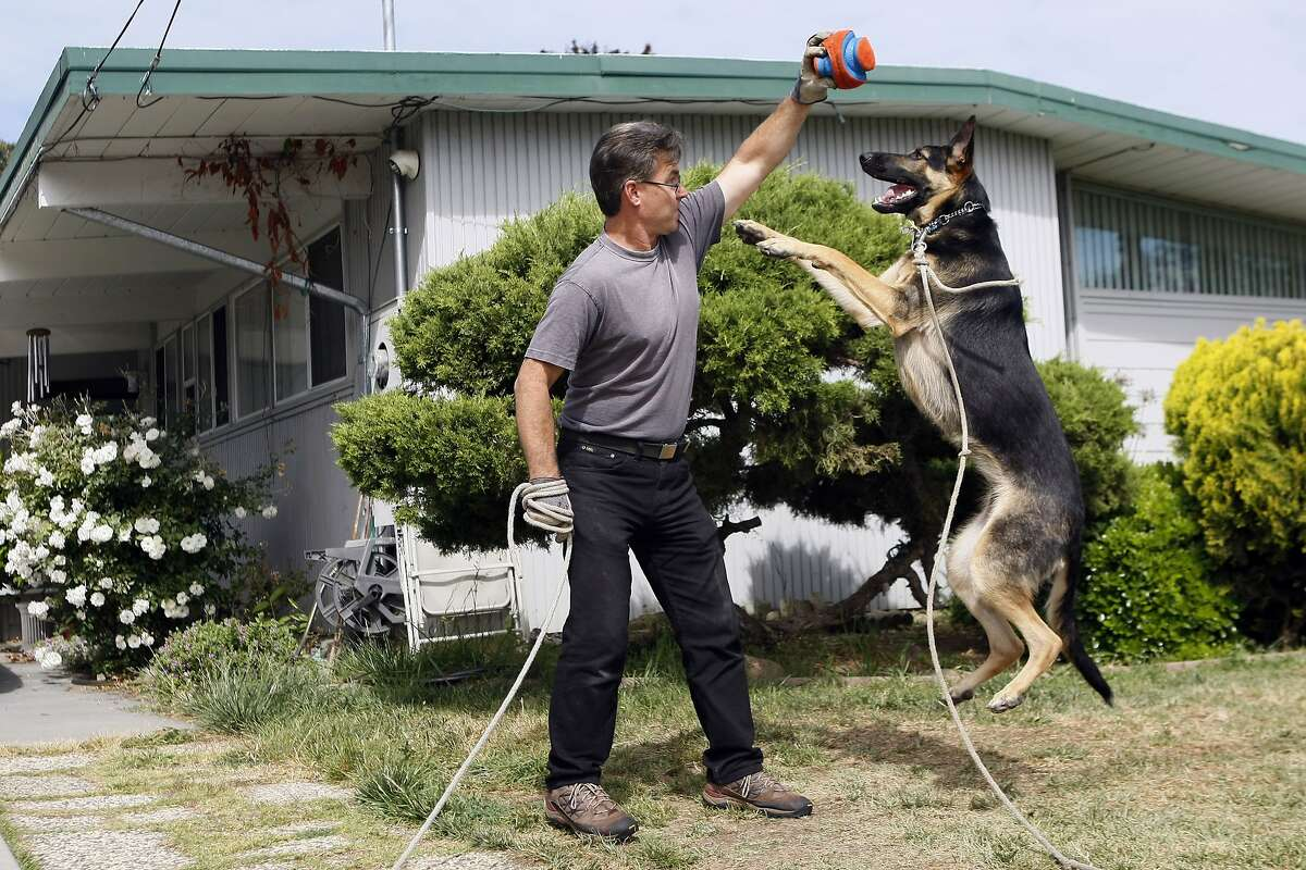 Dave Leslie holds up a ball for his dog Maya, a one-year-old German Shepherd, as she jumps for it in the front yard of the family's home on April 26, 2014 in San Jose, Calif. Maya is enrolled in a trial for AtoKin, a treatment for dogs that may help with the sore, itchy skin that irritates her.