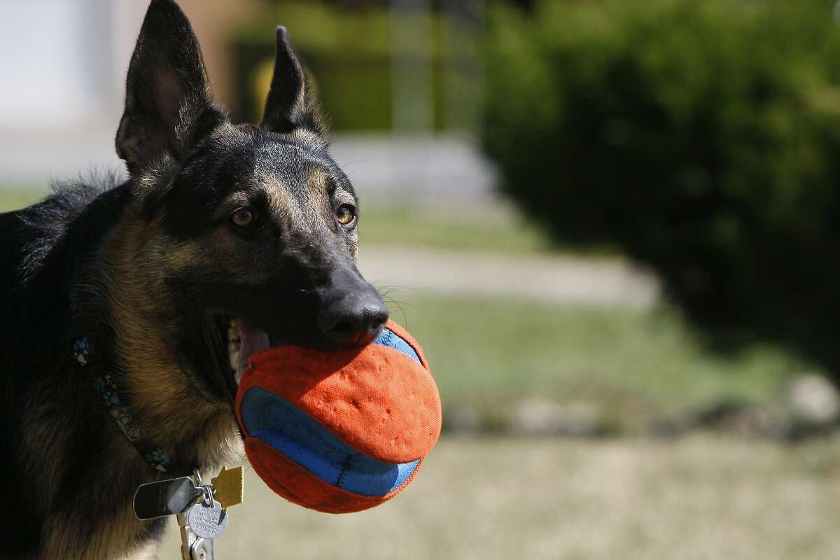 Maya, a one-year-old German Shepherd, holds her ball in the front yard of her owners' home on April 26, 2014 in San Jose, Calif. Maya is enrolled in a trial for AtoKin, a treatment for dogs that may help with the sore, itchy skin that irritates her.