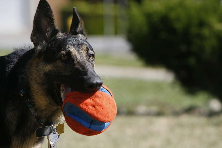 Maya, a German shepherd who has a chronic allergy-associated skin condition, is part of the clinical trial for a canine version of Allegra. Photo: Codi Mills, The Chronicle