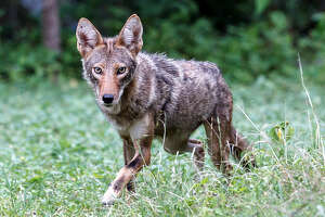 A coyote at a Shavano Park residence near N.W. Military Highway on July 1, 2013.