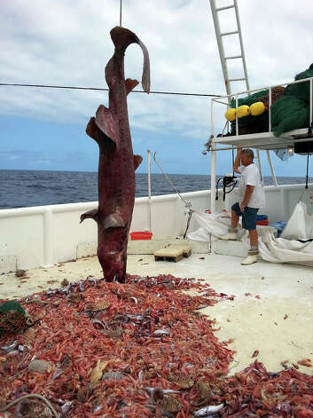 Other animals spotted under an extremely rare goblin shark pulled out of the Gulf have scientists exc