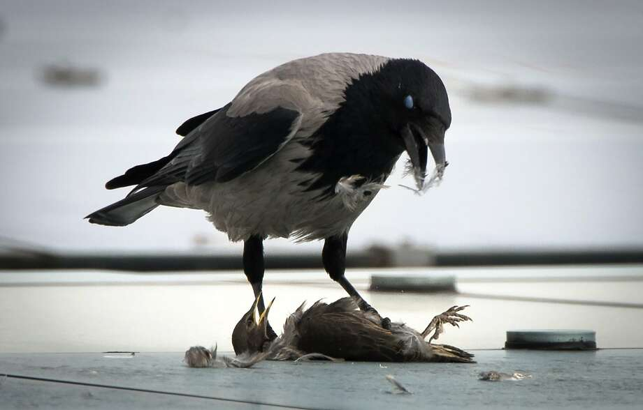 It's better to eat crowthan to be eaten by a crow, which was the fate of a small bird on   the roof of the Chancellery in Berlin. Photo: Odd Andersen, AFP/Getty Images