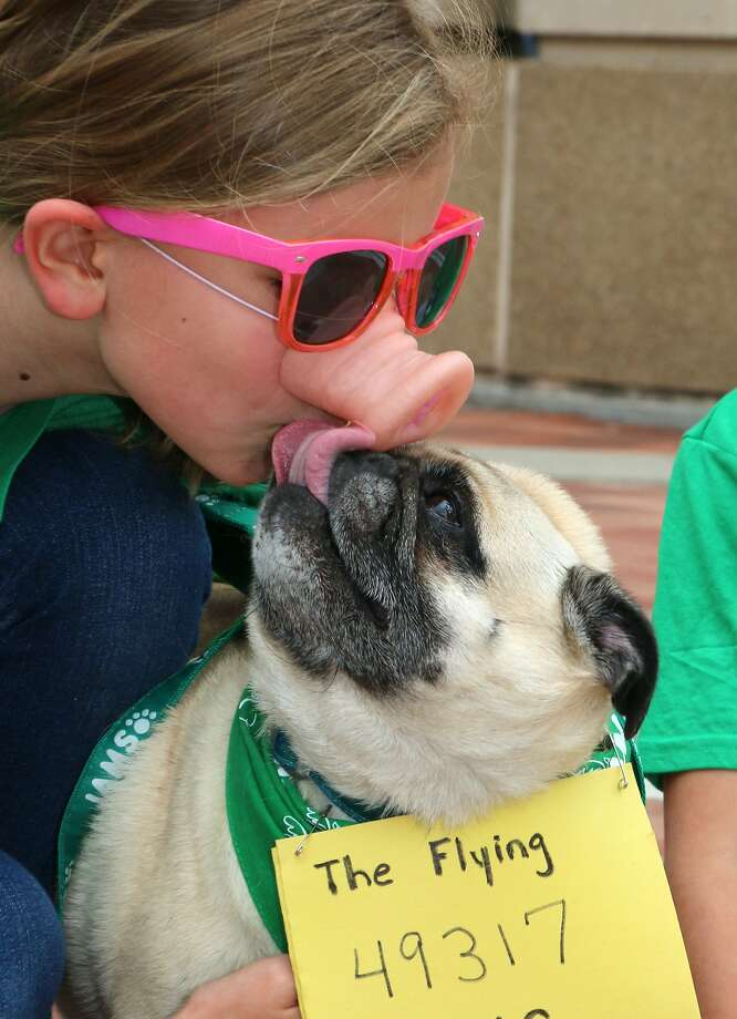 Pug's favorite pig:Belle kisses her owner, 9-year-old runner Sydney Elliott, under the fake snout as they get ready to race in the IAMS Flying Fur dog run in Cincinnati. Photo: Tom Uhlman, Associated Press