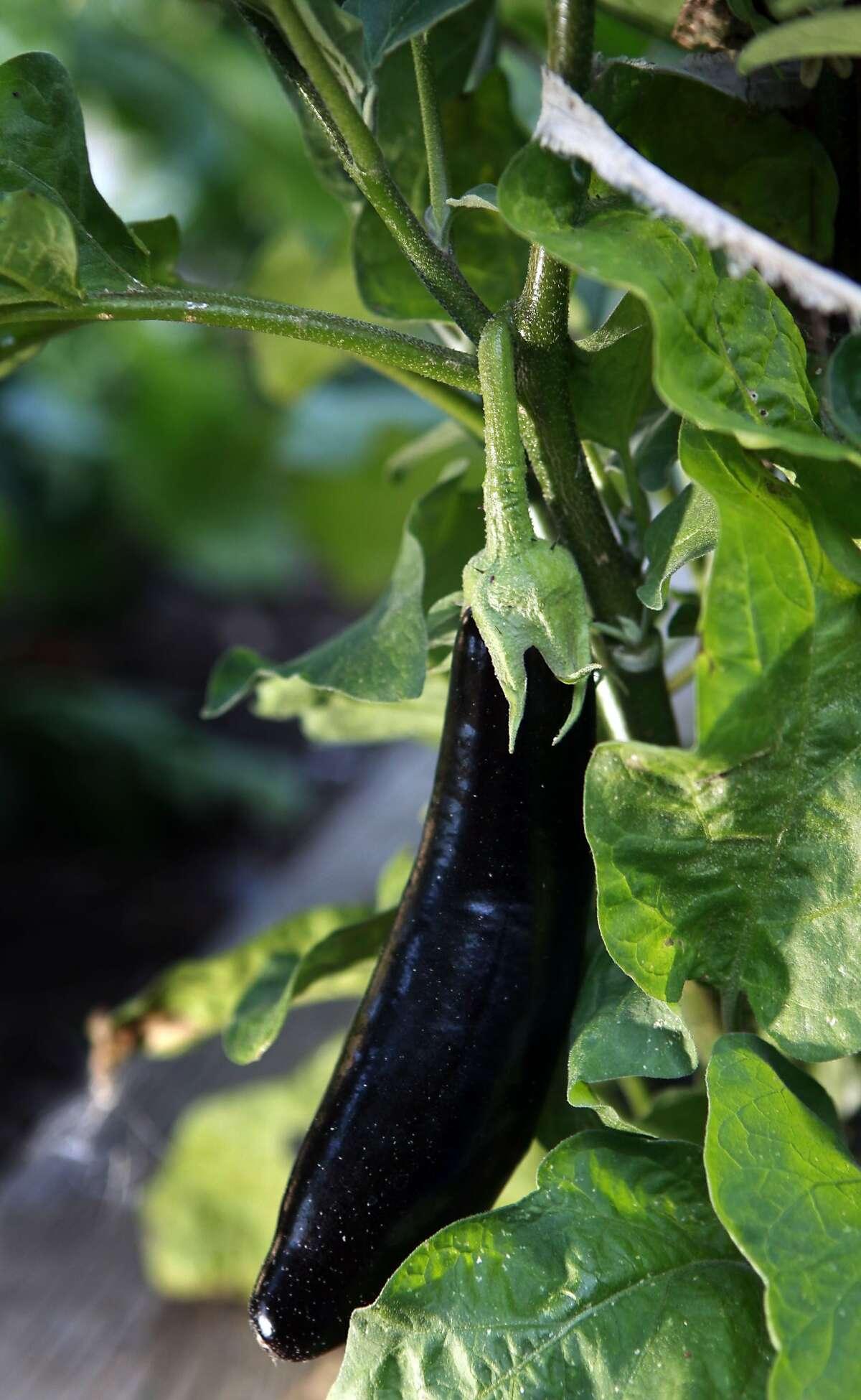 Italian eggplant ripens on the vine at Rosetta Costantino Italian garden in the Oakland hills. Thursday, Sept. 9, 2010.