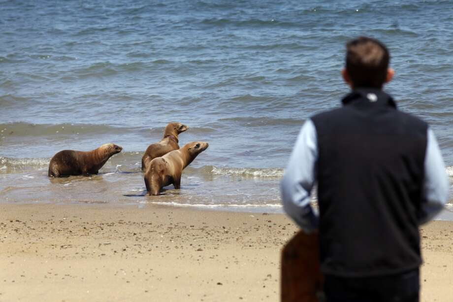 Dr. Shawn Johnson of the Marine Mammal Center, right makes noise to make California sea lion's Hoppie, left,  Eugene and Fenimore swim out to the water after being released by volunteers, Tuesday May 6, 2014, at Chimney Rock in Point Reyes National Seashore, Calif. Fenimore, right was treated for suspected domoic acid toxicity, Hoppie, left, was treated for malnutrition, alopecia and skin mites and Eugene,  was treated for entangled in a fishing line. Photo: Lacy Atkins, SFC