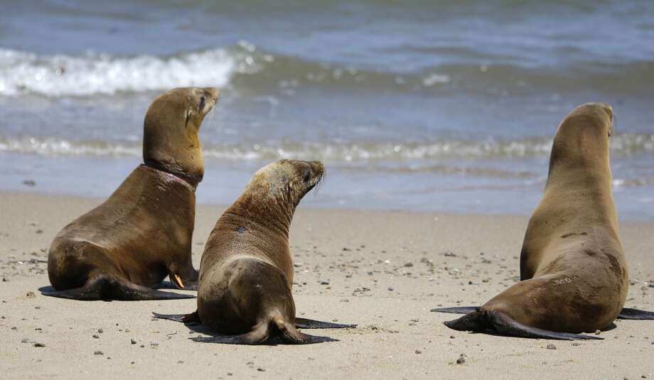 Hoppie, center, the sea lion rescued from an almond orchard, joins Eugene, left, and Fenimore, right, during their release back to the wild at Chimney Rock Tuesday, May 6, 2014, in Point Reyes National Seashore, Calif. Hoppie, a male California seal lion pup treated for malnutrition and skin mites at The Marine Mammal Center in Sausalito, Calif, was rescued after being found at the Mape's Ranch almond orchard in Modesto, Calif on March 31. Photo: Eric Risberg, Associated Press