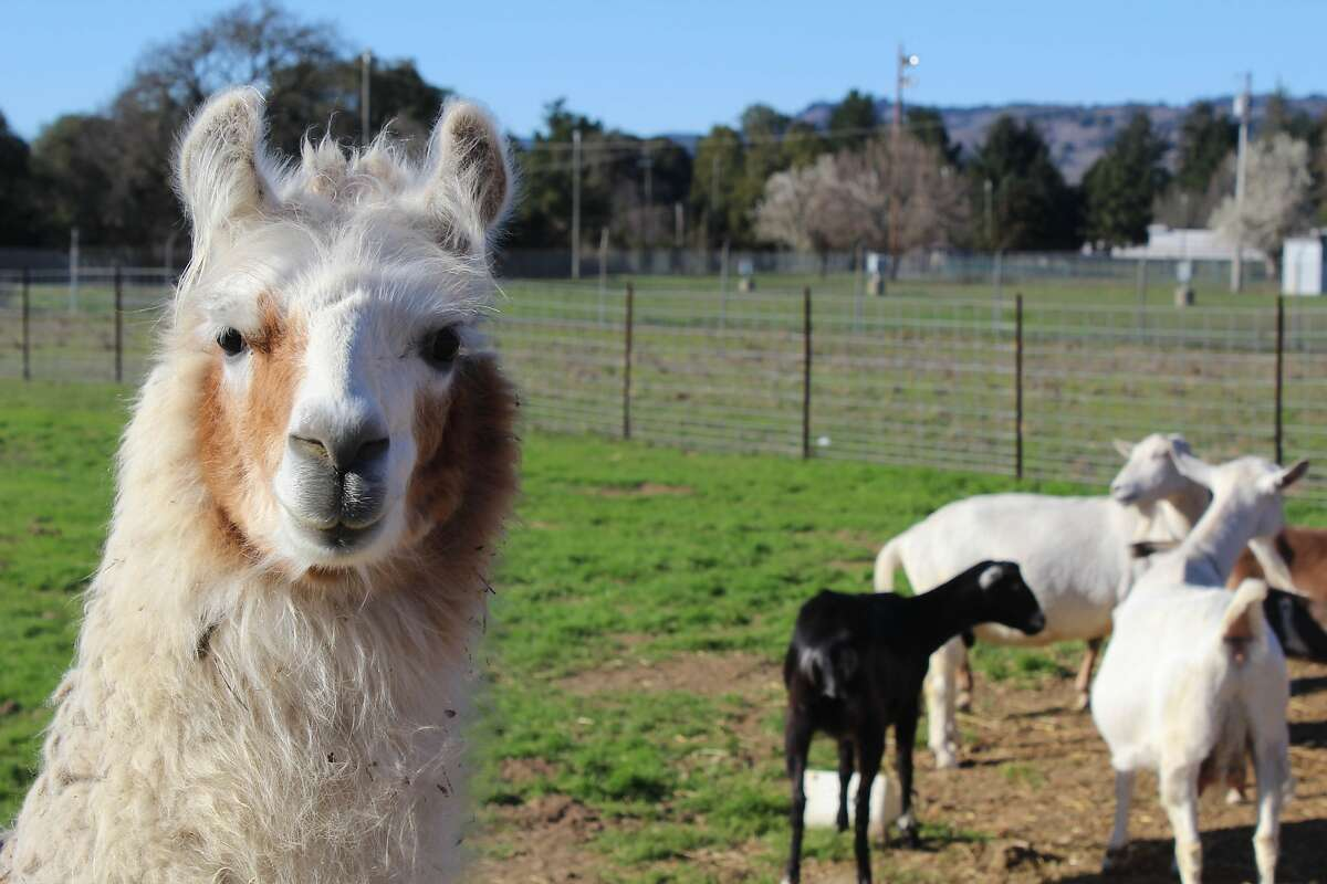 At Pennyroyal Farm in Anderson Valley, shaky-legged lambs and bleating kids are bottle fed while their moms graze on bright green pastures splashed with wildflowers.