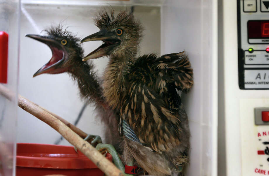 Above: Baby black-crowned night herons are kept warm in an incubator during treatment last year at the International Bird Rescue center in Fairfield. Photo: Paul Chinn / The Chronicle / ONLINE_YES