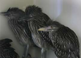 Baby black-crowned night herons recuperate at the International Bird Rescue center in Fairfield, Calif. on Tuesday, May 6, 2014. Five herons, less than a month old, arrived at the center on May 4, after they were rousted from their rookery when the U.S. Postal Service had trees trimmed in downtown Oakland last week.