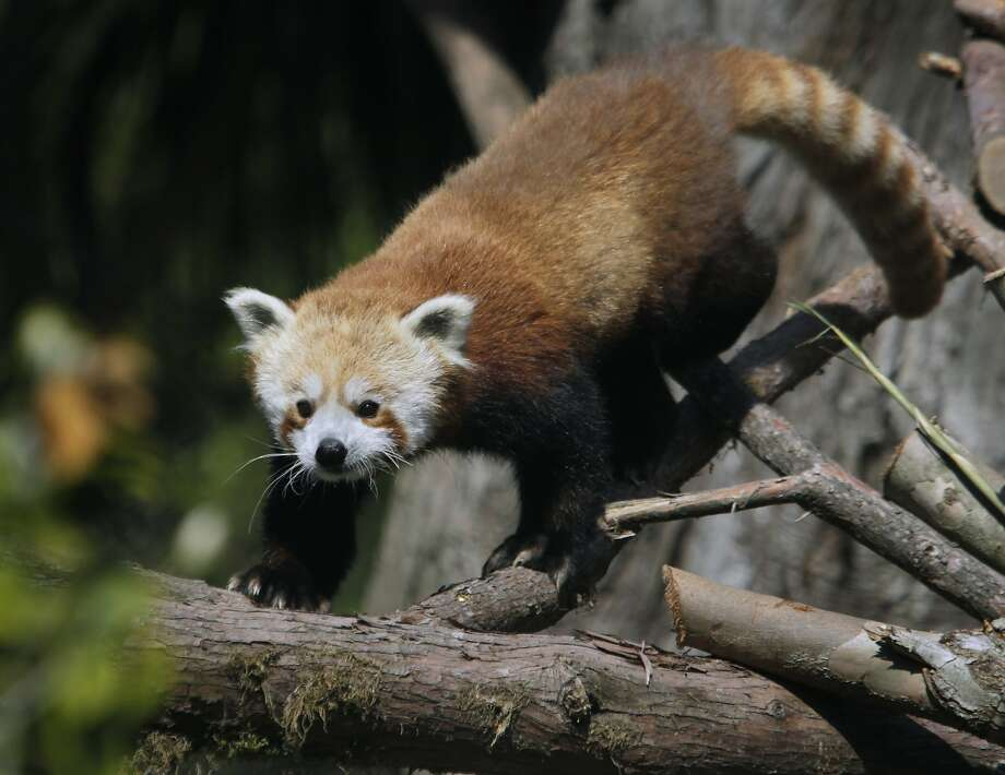 Tenzing the red panda explores his new home at the San Francisco Zoo. Tenzing has never gone missing, as far as we know, but we wanted to include pictures of red pandas since they're so dang cute. Photo: Paul Chinn, The Chronicle