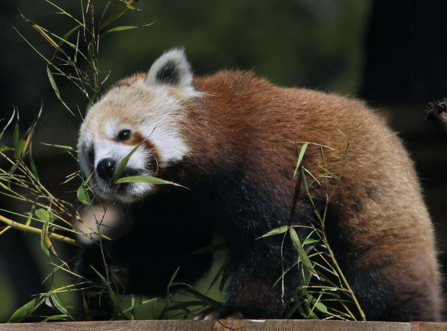 This file photo from the San Francisco Zoo is an example of a red panda similar to the one missing in Eureka. Photo: Paul Chinn, The Chronicle