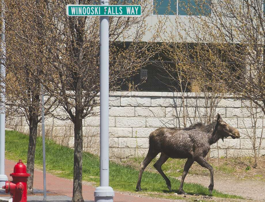 Moose on the loose: After touring Burlington's waterfront, exploring the University of 