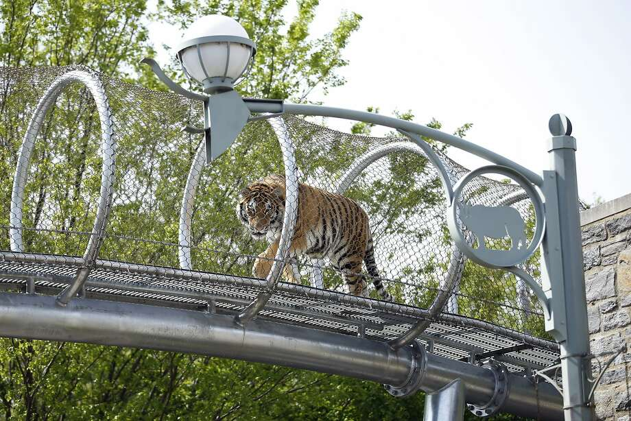ZooTube channel:An Amur tiger walks through a mesh passageway that allows big   cats to explore areas other than their enclosures at the Philadelphia Zoo. The zoo says the see-through walkway enriches both the animals and guests. Photo: Matt Slocum, Associated Press