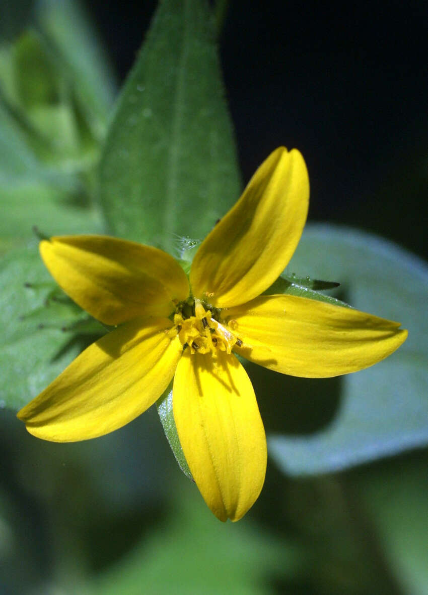 Texas yellow star has five ray flowers (petals) with notched tips.