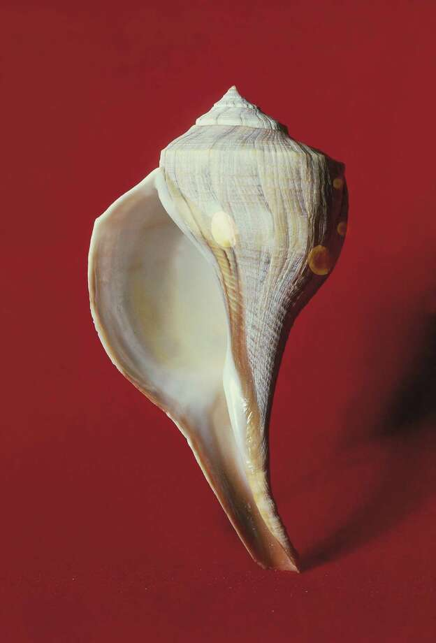 State ShellLightning Whelk, House Concurrent Resolution No. 75, 70th Legislature, Regular Session (1987) Photo: De Agostini Picture Library, Getty Images / De Agostini Editorial