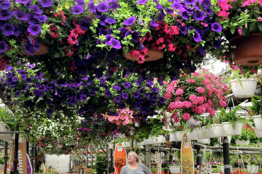 Maureen Peters of Delmar looks over the hanging plants at Valoze's Greenhouse on Tuesday May 6, 2014 in Colonie, N.Y. (Michael P. Farrell/Times Union) Photo: Michael P. Farrell / 00026797A