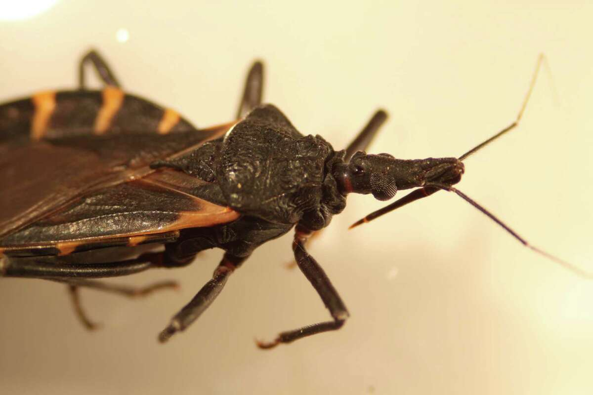 """For many Texas dogs, the bite from a triatoma bug - commonly called """"kissing bugs"""" - can be the kiss of death; the insects carry a parasite that causes Chagas disease, an incurable disease that causes heart failure."""