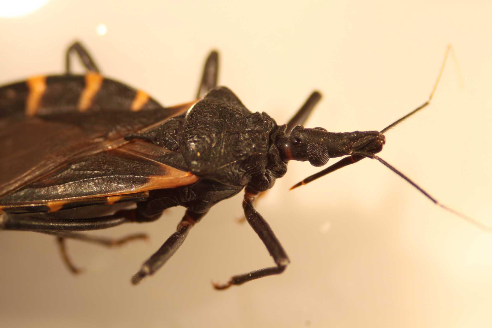 Bug kiss of death