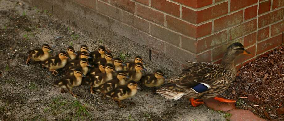 Wait here while I see what's around the corner: A mother mallard and her ducklings walk 