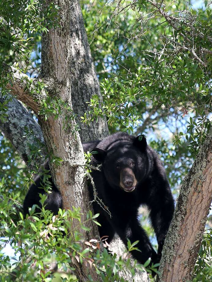 Call him Boomerang:A nuisance black bear that wildlife officials removed   from Panama City, Fla., in April and relocated in a forest 90 miles away is - you guessed   it - back in Panama City. But this time he's climbing trees to make himself harder to   catch. Photo: Andrew Wardlow, Associated Press