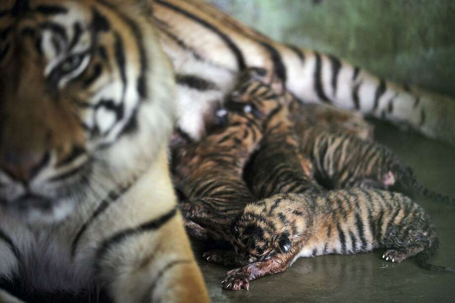 Mom's got her eye on youas she nurses her four newborn cubs at Medan zoo in Medan, North Sumatra, Indonesia. There are an estimated 250 Sumatran tigers left in the wild, compared to about 1,000 in the 1970s.  Photo: Binsar Bakkara, Associated Press