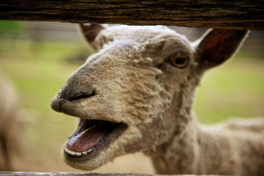 A sheep's worst nightmare