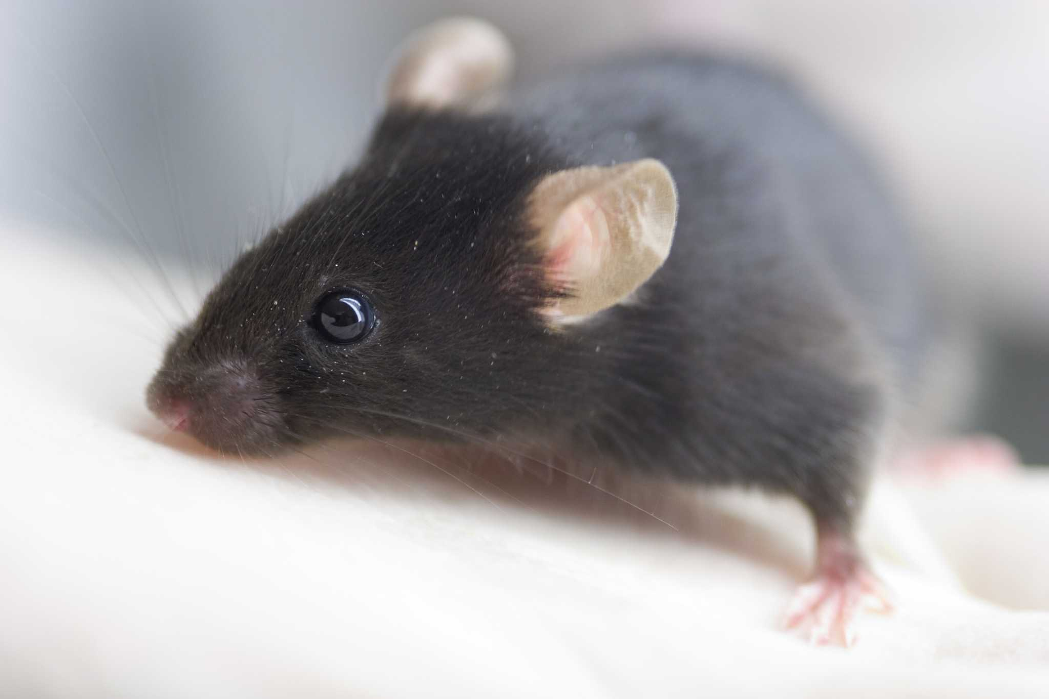 lab mouse pictures - HD2048×1365