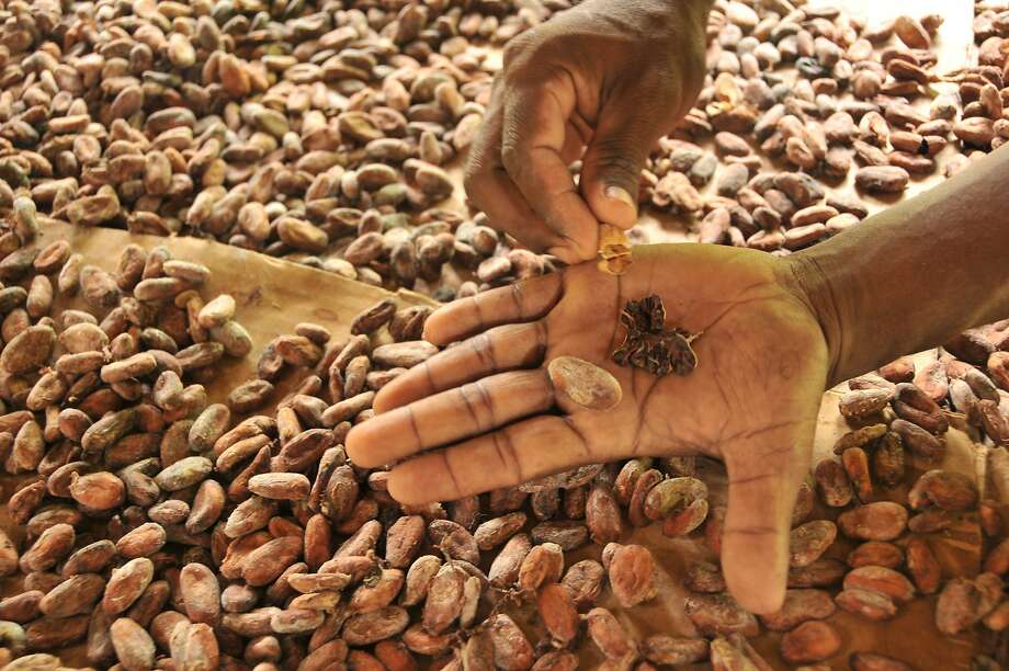 Fresh cocoa beans are ready to be roasted at Belcampo's farm in Toledo, Belize. Photo: Margo Pfeiff, Special To The Chronicle
